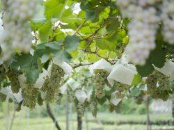 甲州ワインの特徴と地元民がおすすめの一本!女性醸造家が作る繊細な味わいを…
